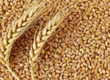 خرید بیش از ۱۸ هزار تن بذر گندم آبی و دیم در لرستان